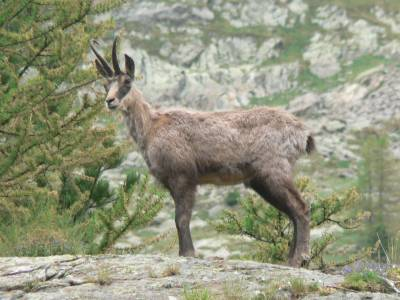 Le traditionnel chamois avant le refuge de la Cougourde